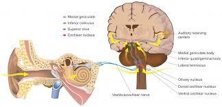گوش و مغز انسان